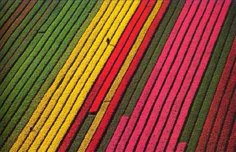 荷兰利瑟镇郊的郁金香园