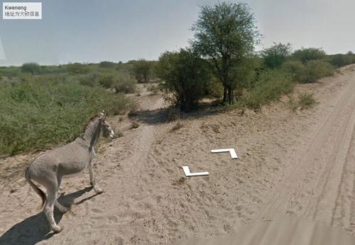 谷歌街景车疑撞死一头驴